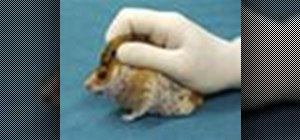 Handle and restrain a hamster for injections