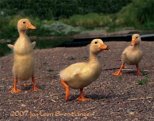the 3 ducklins
