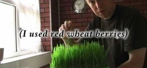 Grow and make a wheatgrass shot