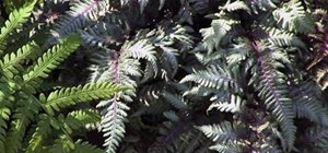 Use a Japanese painted fern in your garden