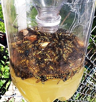 How to Make a Homemade Bee & Wasp Trap (Kill or No-Kill)