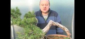 Bonsai a mugo pine