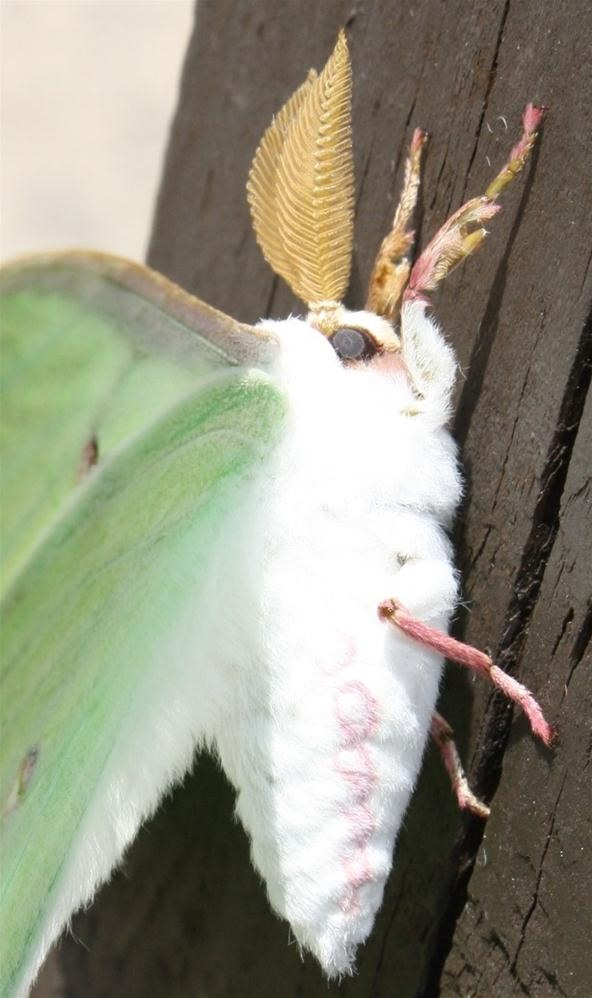Insect Photography Challenge: Luna Moth