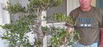 How to Prune an olive bonsai tree