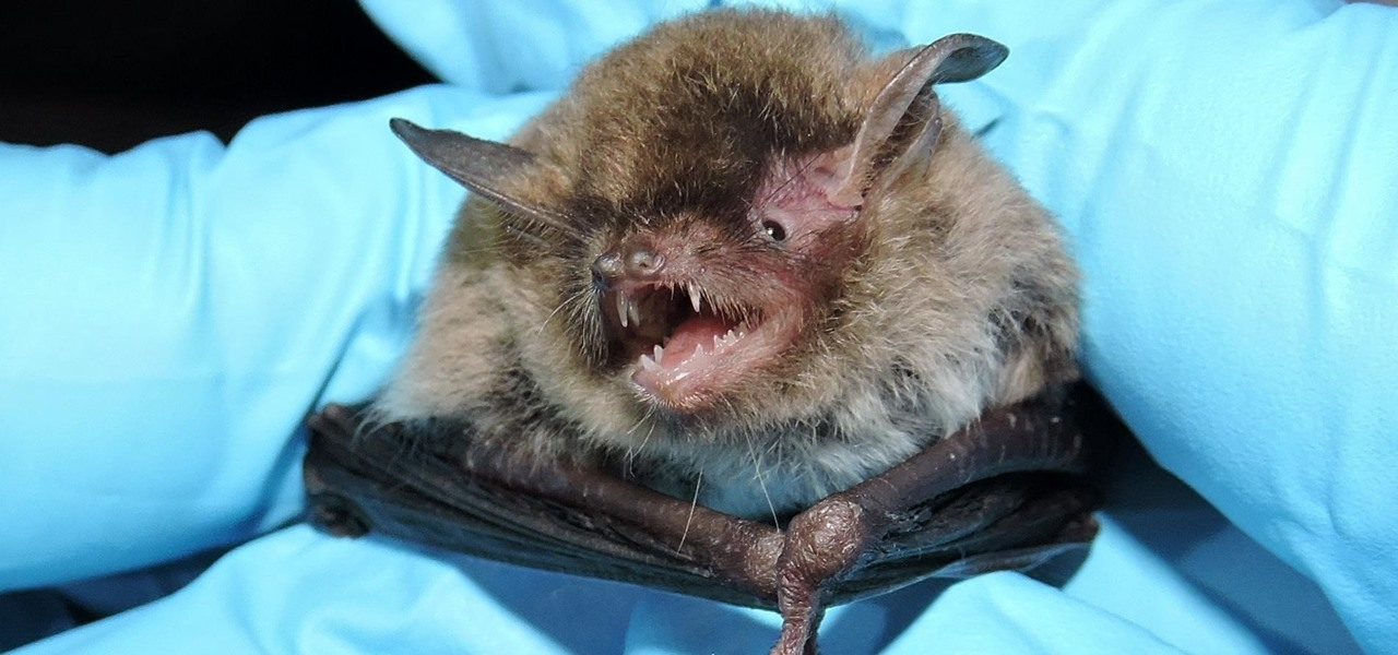 Bad News for Bats — Deadly Fungus Spreading This Summer