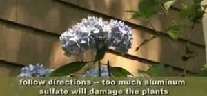 Make your hydrangea flowers bluer