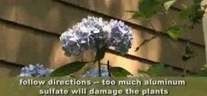 Make your hydrangea flowers bluer