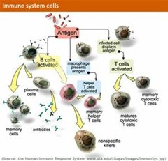 How To Understand the Way Our Immune System Fights Enemies Like a Modern Army