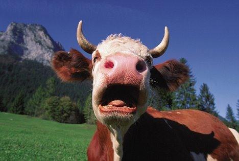 Cow Burps Killing Ozone