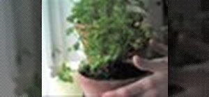 Keep fresh herb plants from your garden alive in winter by transplanting them