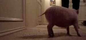 Teach your pet pig to sit
