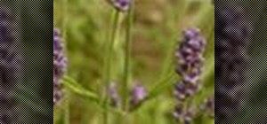 Plant a lavender garden