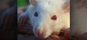 Have and properly take care of your pet rat