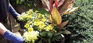 Easily plant canna 'tropicanna' in containers