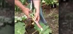 Harvest rhubarb