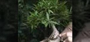 Care for a Bonsai plant