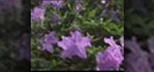 Water and prune azaleas