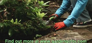 Plant strawberries as ground cover