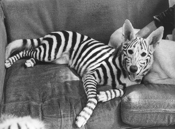 Zebra Pet Costume Chia Pet Pet Costume