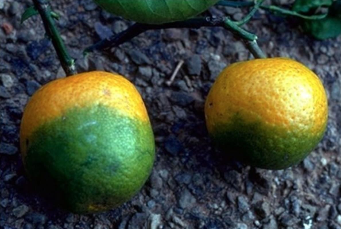 Bye Bye, OJ: How a Blue-Bellied Insect Helps Bacteria Kill Off Citrus Crops