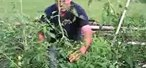How to Prune tomatoes and train tomatoes up a string