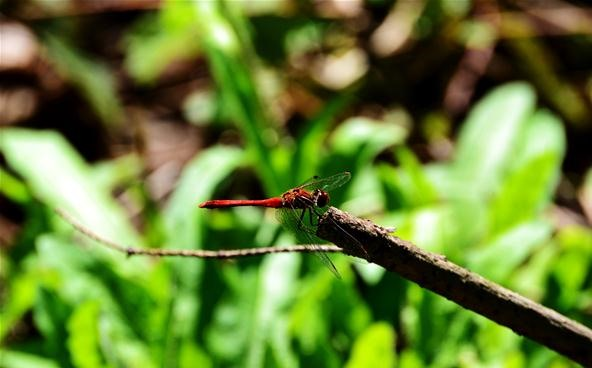 Insect Photography Challenge: Belgian dragonFly
