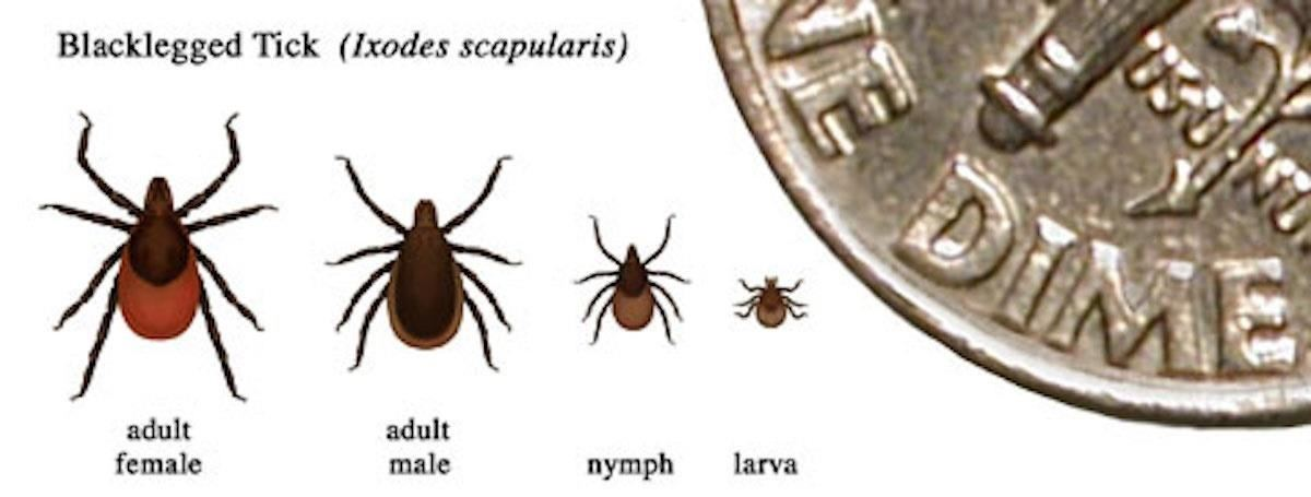 News You Can Use: Tick-Borne Infection Babesiosis —<br/> Symptoms, Sources & Risk