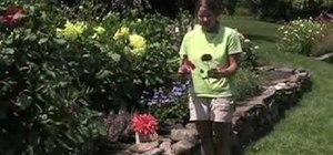 Plant dahlia flowers in your garden