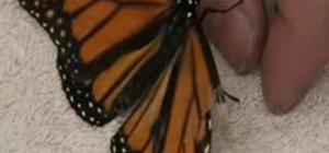 Suture a live Monarch butterfly's wing - honest