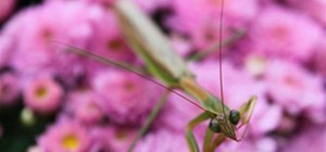 Praying Mantis on Pink Flowers