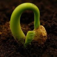 Extreme Close-up Photo Challenge: Transgenic Seed