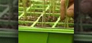 Plant leek plants from plugs to grow more tender leeks