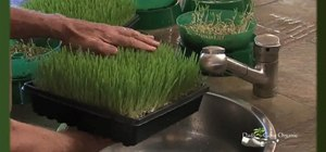 Grow wheatgrass for your animals