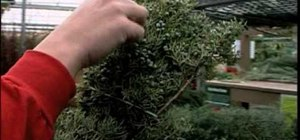 Care for fresh-cut Christmas greenery
