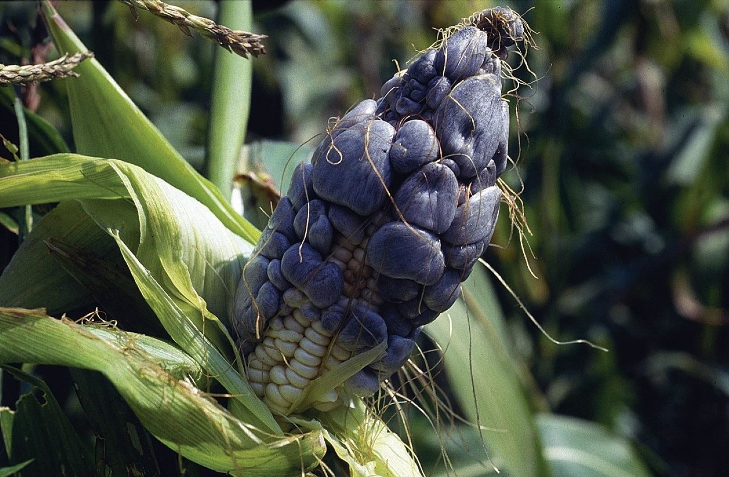 Weird Ingredient Wednesday: Huitlacoche, the Disease You Want to Eat