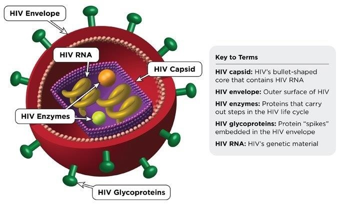 Turning Off the Immune System May Turn on Protection Against HIV