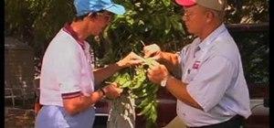 Identify the pecan aphid