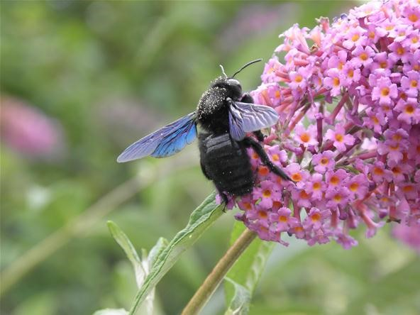Insect Photography Challenge: Abeille Charpentière (Haute Garonne)