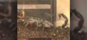 Care for emperor scorpions