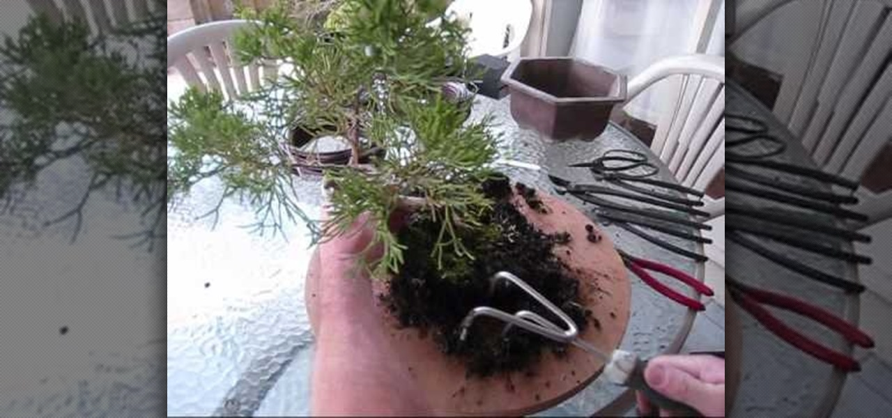 How To Repot A Juniper Bonsai Tree Gardening Wonderhowto