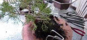 Repot a juniper bonsai tree