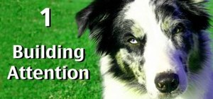 Train your dog to pay attention to you in distracting environments