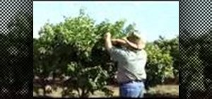 Thin your fruit tree