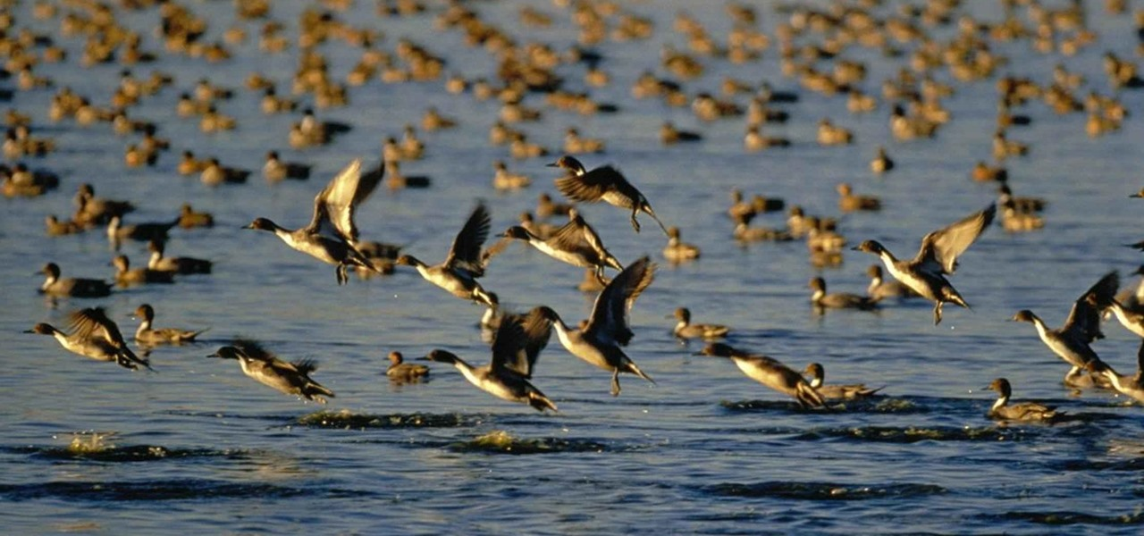 Mass Die-Off of Thousands of Ducks in Idaho Caused by Avian Cholera