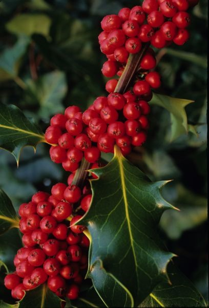 Can Dogs Eat Dogwood Berries