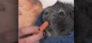 Care for a pet guinea pig