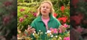 Grow geraniums