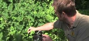 Pick nettle leaves and prepare nettle tea