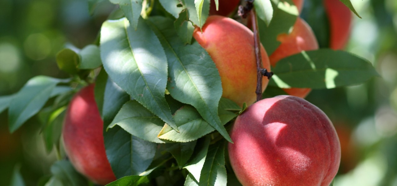 Like Peaches? Protective Virus Could Save Millions of Dollars in Fruit from Fire Blight