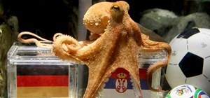 Psychic Octopus Predicts World Cup Winners